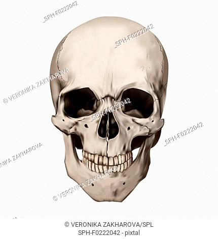 Human skull, illustration