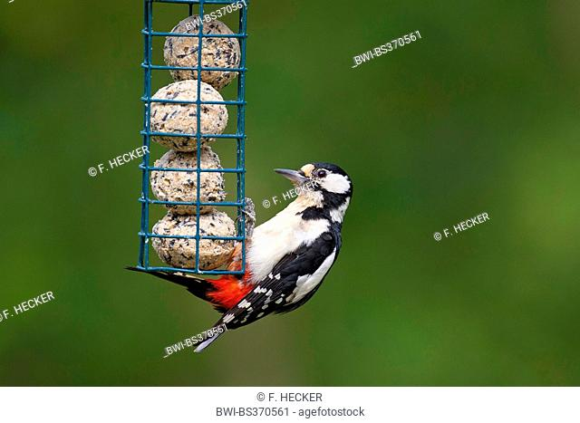 Great spotted woodpecker (Picoides major, Dendrocopos major), squeaker at feeding place, Germany