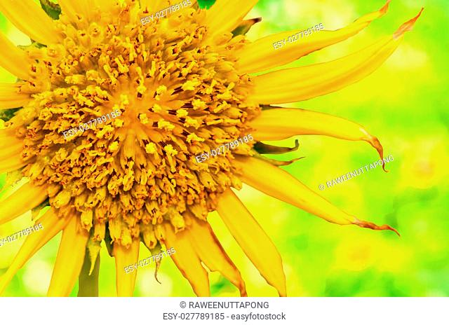 sunflowers isolate on green nature background