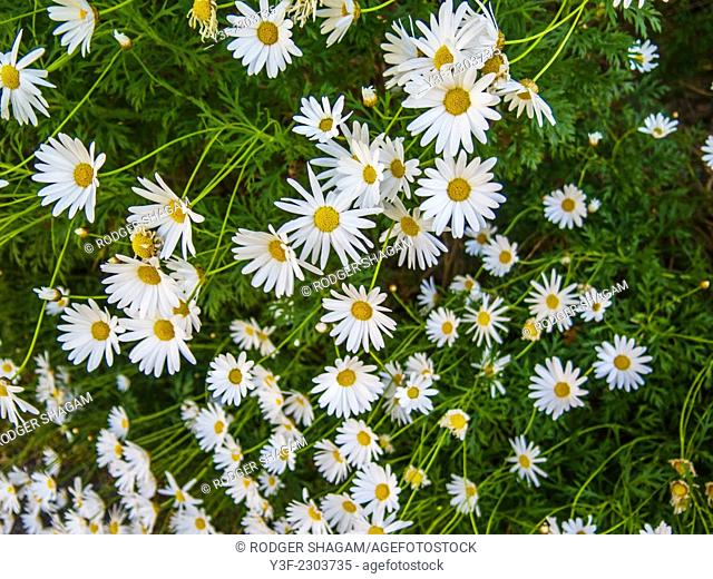 A spring flower display of open daisies