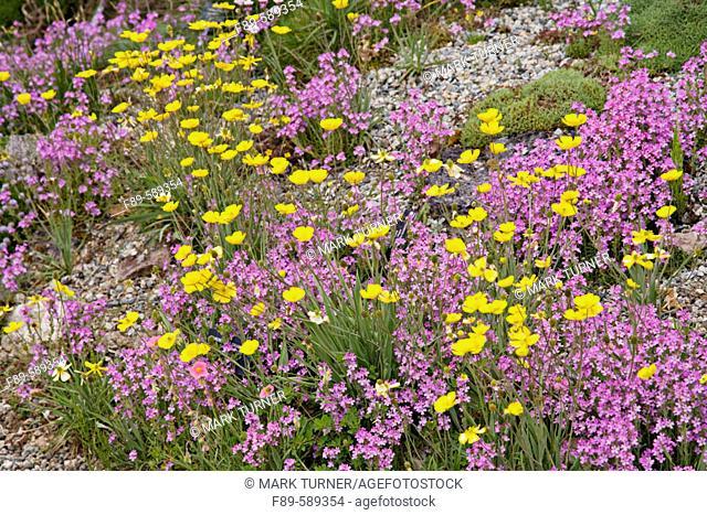 Ranunculus gramineus among Erinus alpinus [Ranunculus gramineus; Erinus alpinus]. Vancouver, UBC Botanic Garden, British Columbia. Canada