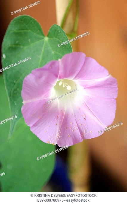 A cotton candy pink Morning Glory