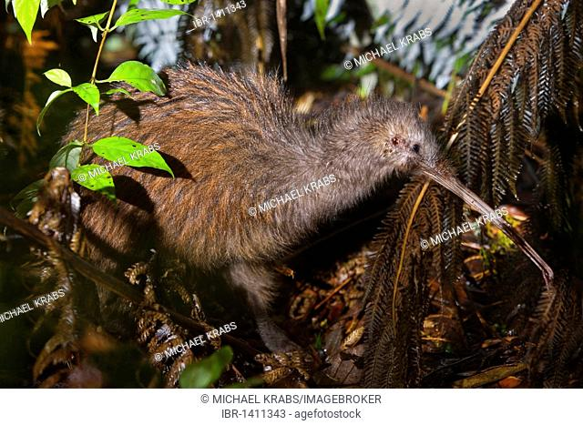 Southern Brown Kiwi, Tokoeka, or Common kiwi (Apteryx australis), adult, foraging at night in thick undergrowth of an old Kauri forest