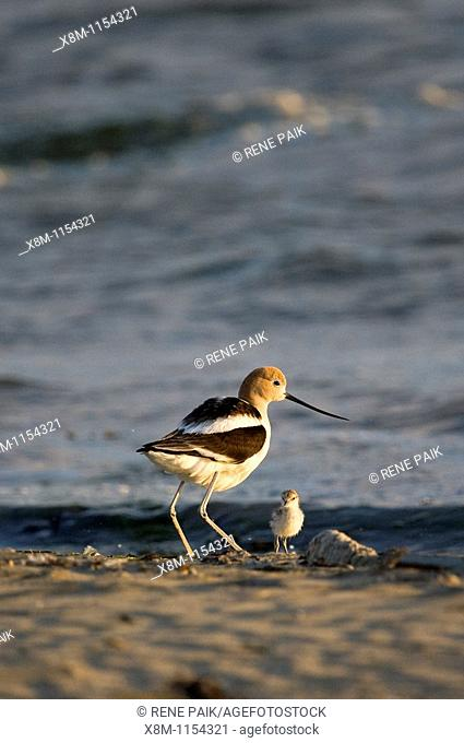 American Avocet parent with its chick at Middle Harbor Shoreline Park in Oakland, California, part of the network of East Bay Regional Parks