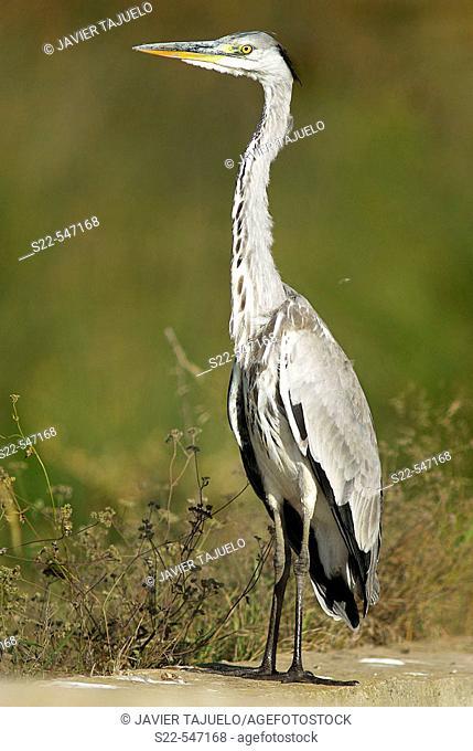 Grey heron (Ardea cinerea). Albufera de Valencia NP, Comunidad Valenciana. Spain