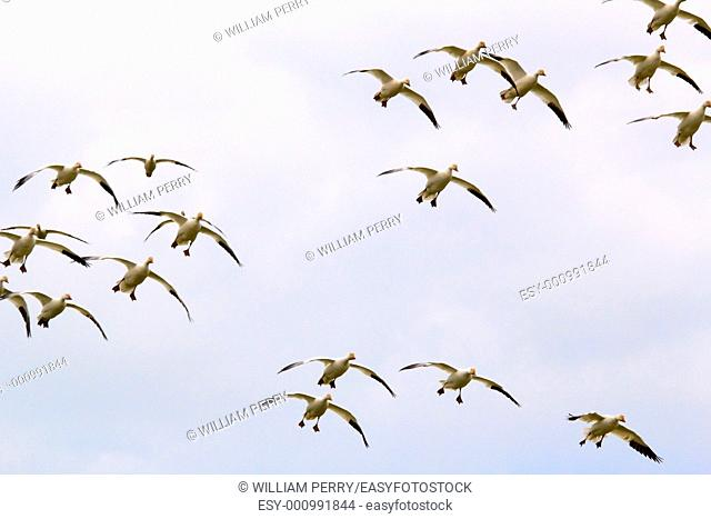 Snow Geese Flock in Sky Flying Glyding and Landing Skagit County Washington