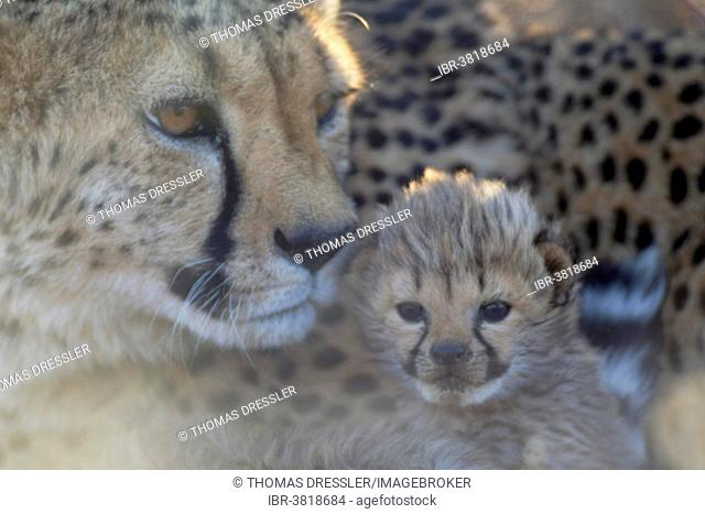 Cheetah (Acinonyx jubatus), female with male cub, 19 days, captive, Namibia