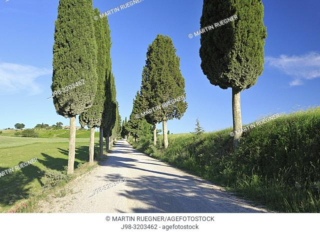 Dirt Road lined with Cypress Trees (Cupressus sempervirens). Val d'Orcia, Pienza, Siena Province, Tuscany, Italy