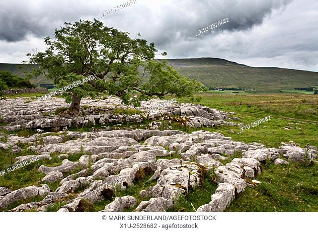 Lone Tree at Sleights Pasture with Whernside Beyond Ribblehead Yorkshire Dales England