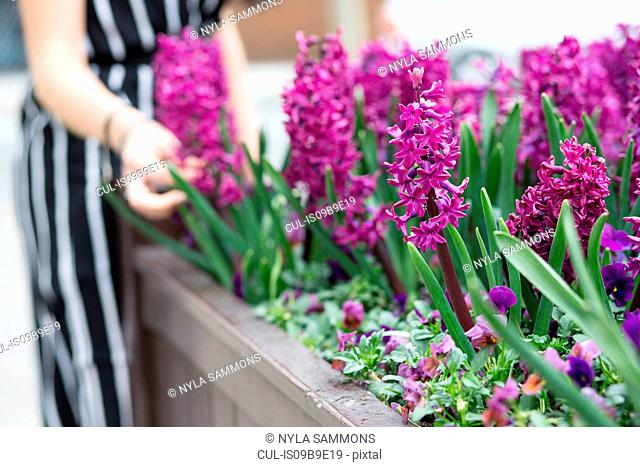 Mid section of young woman's hand touching purple hyacinth in planter