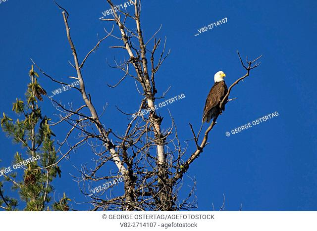 Bald eagle at Hosmer Lake, Cascade Lakes National Scenic Byway, Deschutes National Forest, Oregon