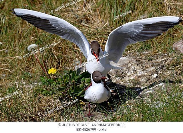Black-headed gulls (Larus ridibundus), mating, North Frisia, Schleswig-Holstein Wadden Sea National Park, North Sea coast, Schleswig-Holstein, Germany