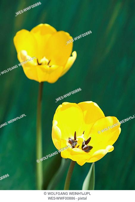 Yellow tulips, close-up