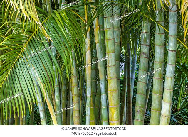 Areca Palm (Dypsis lutescens) also known as bamboo palm, golden cane palm, yellow palm and butterfly palm,