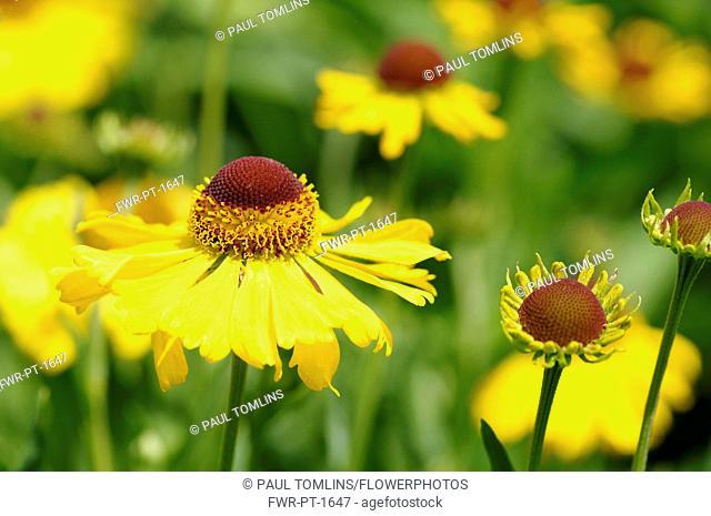 Sneezeweed, Helenium 'Wesergold', Yellow coloured flowers growing outdoor.-