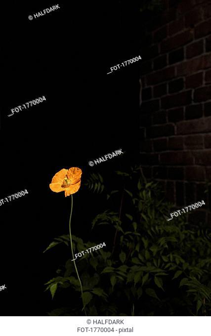 Orange poppy flower in dark garden