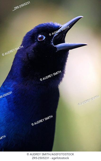 A male boat-tailed grackle (Quiscalus major) vocalizes to send signals to other birds. The iridescent feathers appear blue under overcast conditions; Florida