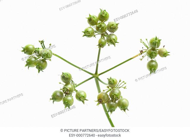 Fresh coriander seed on a sprig close up isolated on white background