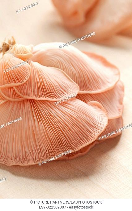 Fresh bunch of raw pink oyster mushrooms