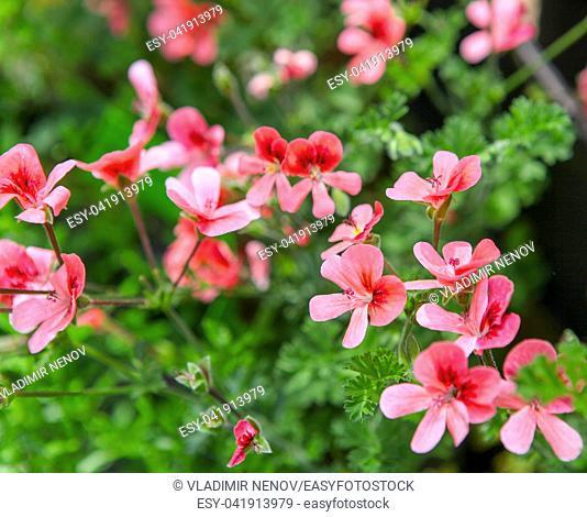 Geranium Pelargonium Flowers