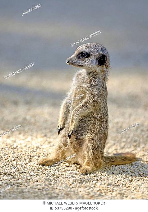 Meerkat or Suricate (Suricata suricatta) pup, native to Africa, captive, Baden-Württemberg, Germany
