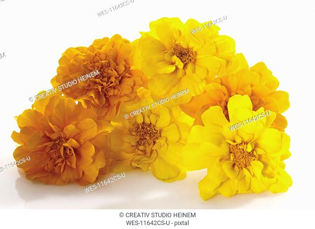 Yellow tagetes flowers