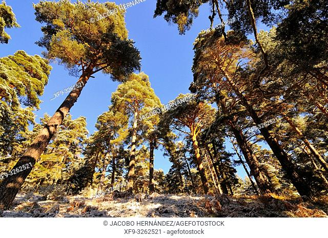 Pine forest of Navarredonda in winter. Pinus sylvestris. Avila province. Castilla y León. Spain