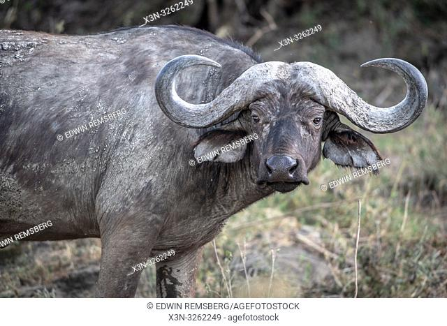 A Cape buffalo (Syncerus caffer) Nakuru National Park, Kenya
