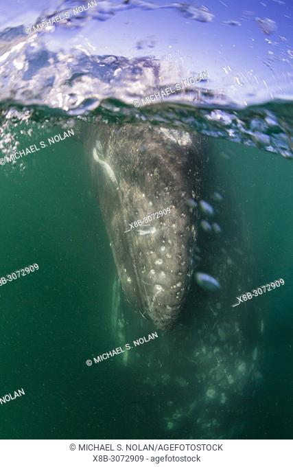 California gray whale mother and calf, Eschrichtius robustus, underwater in San Ignacio Lagoon, Baja California Sur, Mexico