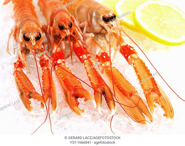Dublin Bay Prawn or Norway Lobster or Scampi, nephrops norvegicus, Crustacean and Lemon on Ice