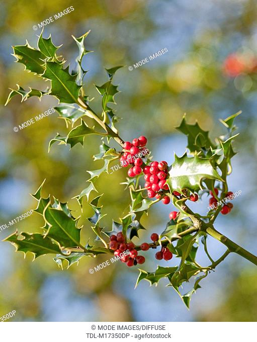 A holly branch with bright red berries