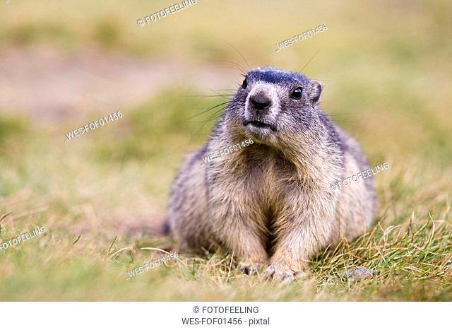 Austria, Alpine Marmot Marmota marmota, portrait