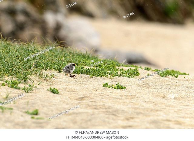 Arctic Tern (Sterna paradisaea) chick, standing on sandy beach during rainfall, Unst, Shetland Islands, Scotland, July