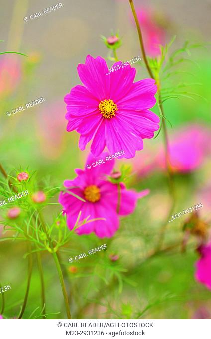 A vertical rendition of a cosmos flower in soft focus, Pennsylvania, USA