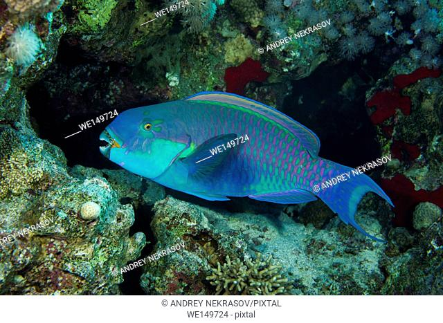 Steephead Parrotfish, Blunt-headed parrotfish or Gibbus parrotfish (Chlorurus gibbus) on a background of a coral reef, Red Sea, Egypt