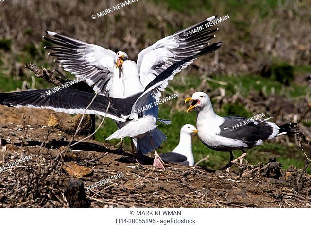 western gulls nesting, channel islands NP, california