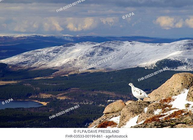 Rock Ptarmigan (Lagopus mutus) adult female, winter plumage, standing on granite outcrop in mountain habitat, looking towards Loch Morlich, Cairn Gorm