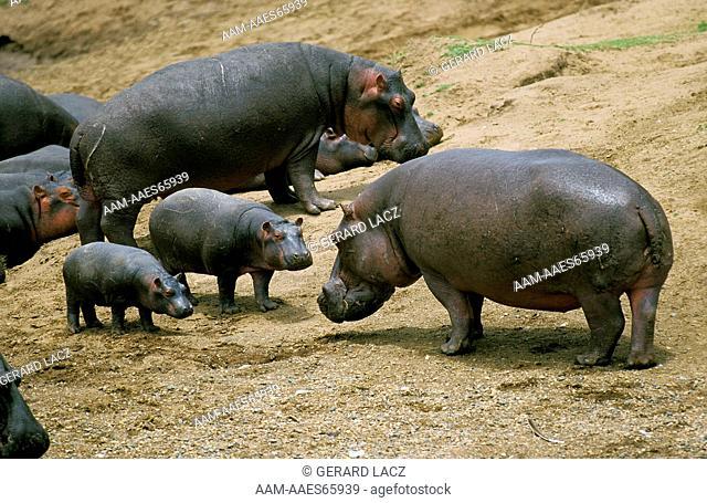 Hippopotamus, hippopotamus amphibius, Group in Masai Mara Park, Kenya