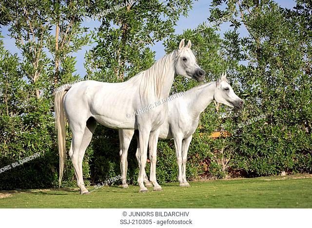 Arabian Horse. Pair of young gray mares standing on a lawn. Egypt