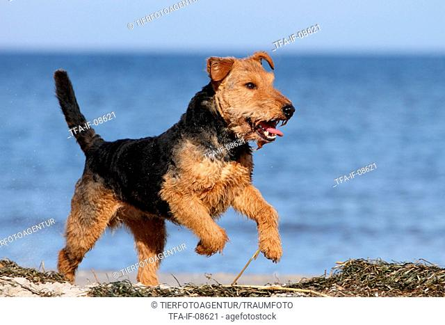 running Welsh Terrier