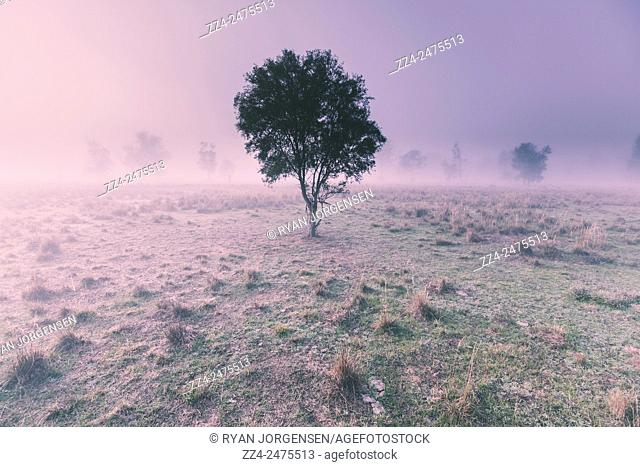 Fantastic afternoon winter landscape of a fog covered New South Wales meadow with trees shrouded in mist. Alleena, Australia