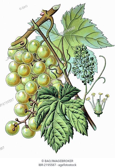 Common grape vine (Vitis vinifera), historical chromolithography, 1870
