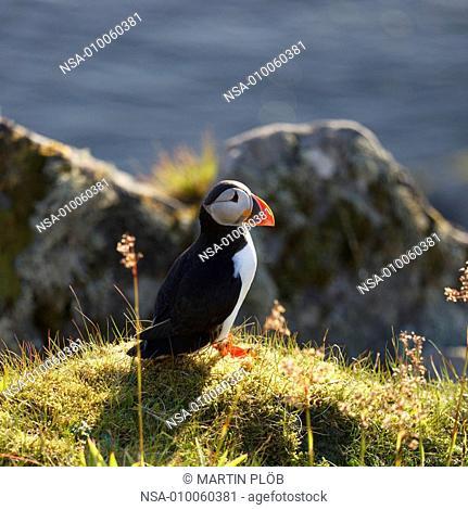 puffin on bird island Runde in Norway