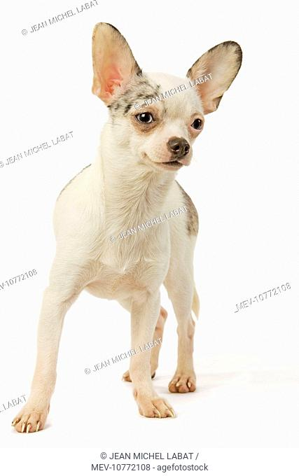 Dog - Chihuahua in studio