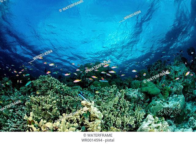 Anthias at Coral Reef, Pseudanthias evansi, Indian Ocean, Maldives