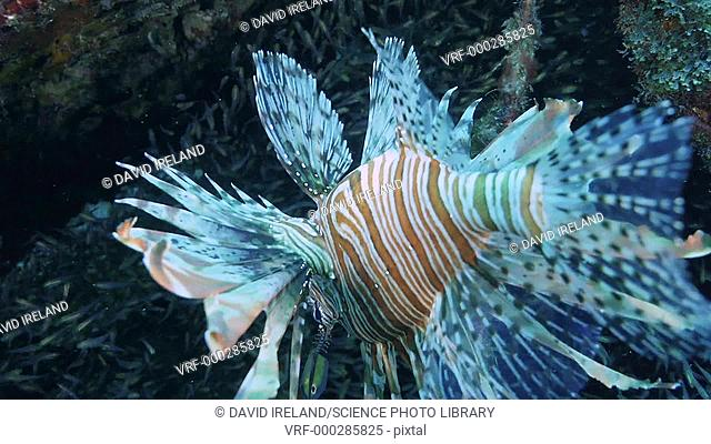 Zebra lionfish (Dendrochirus zebra) swimming near small fish. The lionfish is a predator of small shoaling fish such as this