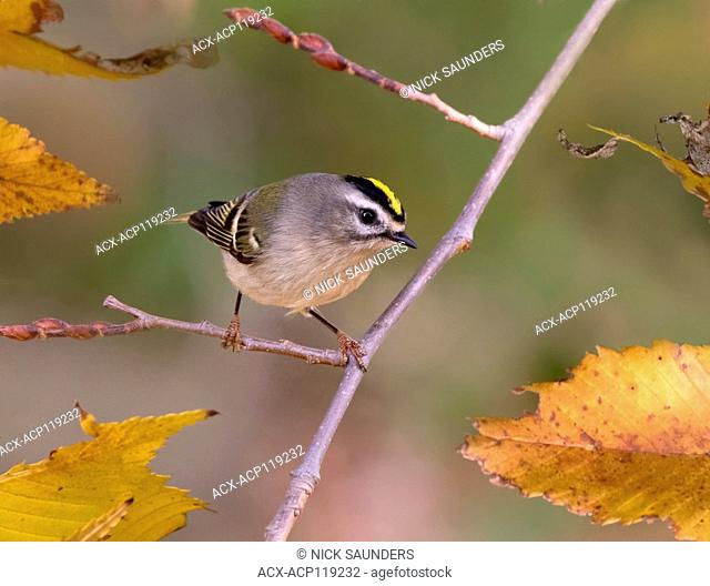 A female Golden-crowned Kinglet, Regulus satrapa, perched on a branch in the fall, in Saskatoon, Saskatchewan, Canada