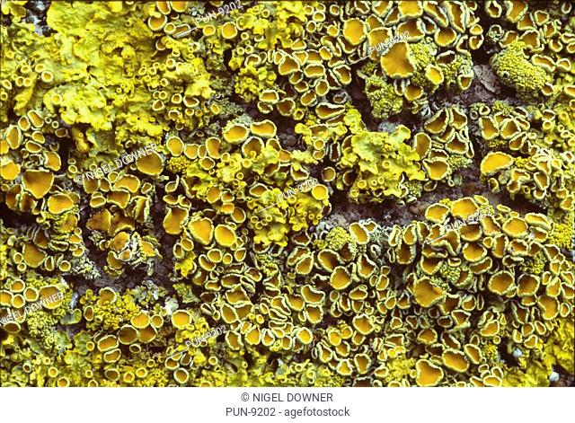 Close-up abstract of a patch of yellow scales lichen Xanthoria parietina growing on a tree branch in a Norfolk wood