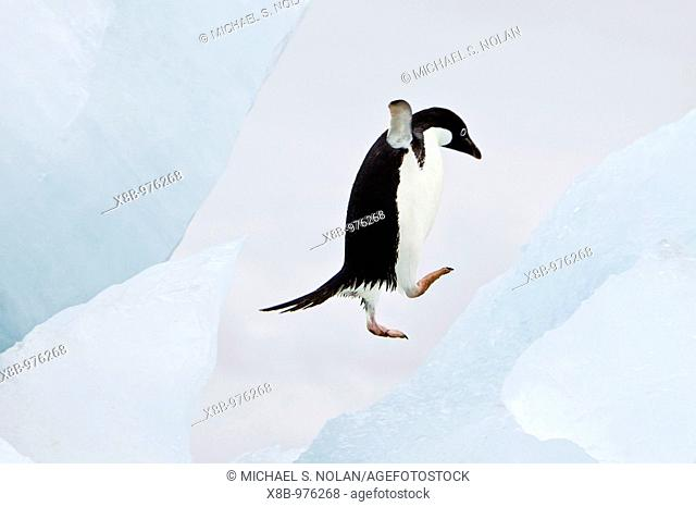 Adelie penguin Pygoscelis adeliae near the Antarctic Peninsula, Antarctica  The Adélie Penguin is a type of penguin common along the entire Antarctic coast and...