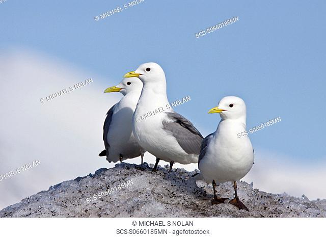 Adult black-legged kittiwake Rissa tridactyla near ice in the Svalbard Archipelago, Barents Sea, Norway MORE INFO The name is derived from its call